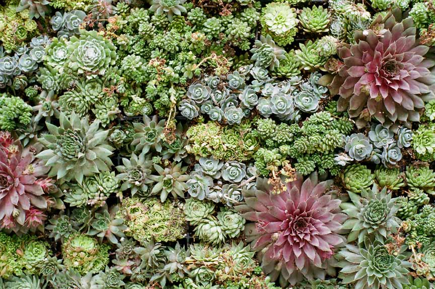 High Quality Succulent Living Wall Create A Stunning Wedding Backdrop With Living Walls    Canada Gay